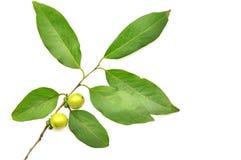 Frutta dell'ebano immagine stock libera da diritti