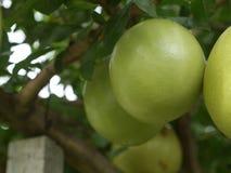 Frutta dell'India della zucca a fiaschetta pronta da mangiare dall'albero nella combinazione rossa luminosa del giardino Fotografia Stock Libera da Diritti