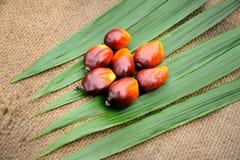 Frutta dell'olio di palma immagine stock libera da diritti