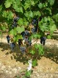 Frutta dell'uva Immagine Stock