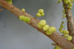 Frutta dell'uva spina della stella sull'albero fotografia stock