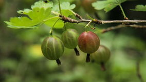 Frutta dell'uva spina sul ramo nel giardino stock footage