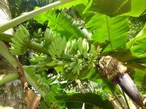 Frutta della banana del plantano in pianta Immagine Stock