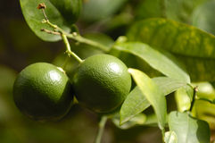 Frutta della calce Fotografia Stock Libera da Diritti
