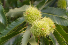 Frutta della castagna Immagine Stock