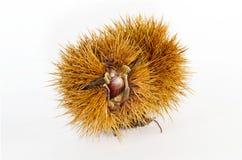 Frutta della castagna Fotografia Stock