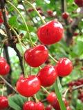 Frutta della ciliegia nel giardino immagine stock