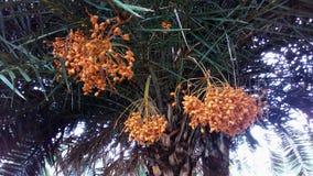 Frutta della data Fotografia Stock Libera da Diritti