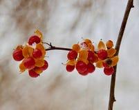 Frutta della dulcamara orientale Immagine Stock