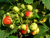 Frutta della fragola Fotografia Stock