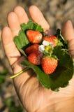 Frutta della fragola con il fiore e la foglia a disposizione Fotografia Stock