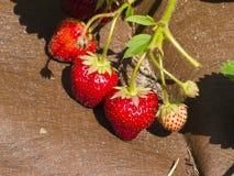 Frutta della fragola di Riping in giardino sul substrato di plastica, macro, fuoco selettivo, DOF basso Fotografia Stock