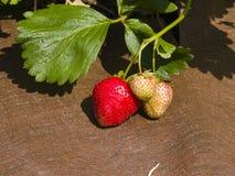 Frutta della fragola di Riping in giardino sul substrato di plastica, macro, fuoco selettivo, DOF basso Immagine Stock