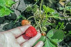 Frutta della fragola nella mano della donna che cresce a garde Fotografia Stock Libera da Diritti