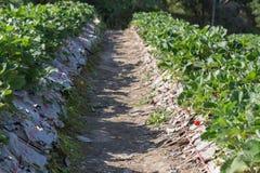 frutta della fragola nella piantagione del campo Immagini Stock
