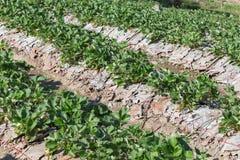 frutta della fragola nella piantagione del campo Immagini Stock Libere da Diritti