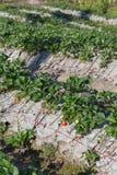 frutta della fragola nella piantagione del campo Fotografia Stock