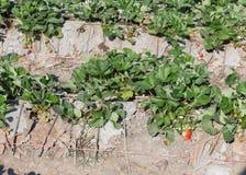 frutta della fragola nella piantagione del campo Immagine Stock Libera da Diritti