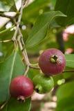 Frutta della guaiava di Cattley o della guaiava del peruviano (susp di psidium littorale Immagine Stock