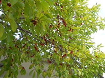 Frutta della magnolia Immagine Stock