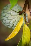 Frutta della mela cannella Fotografia Stock