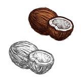 Frutta della noce di cocco dello schizzo tropicale della palma, progettazione dell'alimento illustrazione vettoriale