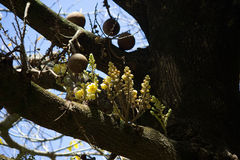 Frutta della palla di cannone con i fiori Immagini Stock