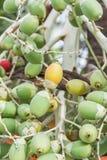 Frutta della palma Immagine Stock Libera da Diritti