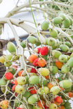 Frutta della palma Immagini Stock Libere da Diritti