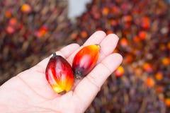 Frutta della palma da olio a disposizione Immagine Stock