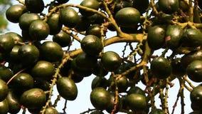 Frutta della palma del raccolto degli agricoltori archivi video