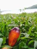 Frutta della palma in piantagione fotografia stock libera da diritti