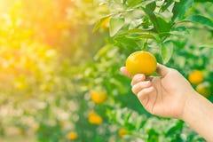 Frutta della papaia su fondo di legno Fette di papaia dolce su fondo di legno, papaie divise in due con le foglie, Immagine Stock Libera da Diritti