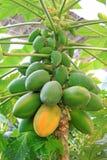 Frutta della papaia sugli alberi in una piantagione moderna Fotografia Stock