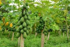 Frutta della papaia sull'albero Fotografia Stock