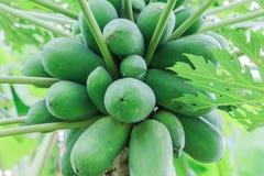 Frutta della papaia sull'albero di papaia, con le foglie Immagine Stock