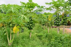 Frutta della papaia sull'albero nelle piantagioni della papaia Fotografia Stock
