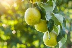 Frutta della pera Fotografia Stock Libera da Diritti