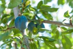 Frutta della prugna Fotografie Stock Libere da Diritti