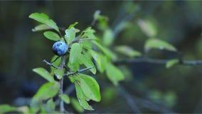 Frutta della prugnola sul ramo archivi video
