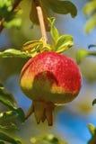 Frutta della punica granatum Immagine Stock
