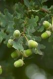 Frutta della quercia Immagini Stock