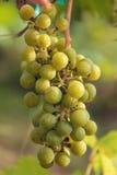 Frutta della vite Immagini Stock Libere da Diritti
