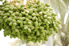 Frutta delle date Fotografia Stock