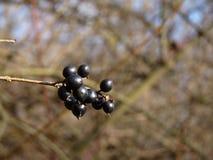 Frutta dello spincervino di ontano di alnus di Frangula Immagini Stock