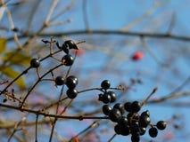 Frutta dello spincervino di ontano di alnus di Frangula Fotografia Stock Libera da Diritti