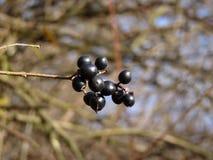 Frutta dello spincervino di ontano di alnus di Frangula Fotografie Stock Libere da Diritti