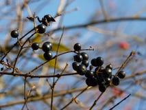 Frutta dello spincervino di ontano di alnus di Frangula Fotografie Stock
