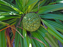 Frutta di Adan Fotografia Stock