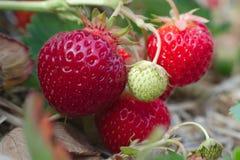 Frutta di agricoltura del primo piano del giacimento della fragola macro Immagine Stock Libera da Diritti